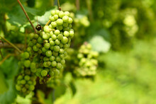 Bunch Of Small Green Wine Grapes In Vineyard