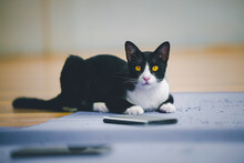 Portrait Of Naughty Cat, Short Hair Black Cat Playing Lying On Floor
