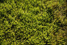 Detail Shot Of Wetland Ground Cover Plant With Small Green Leaves