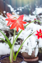 Hippeastrum (amaryllis) Flower Blooming In The Nature Background  With Snow And With Falling Snowflakes  In Winter Time, Cute Red Flower In Nature Background In Cold Day