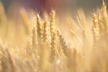 Golden Wheat Field At Sunset Close Up