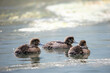 canvas print picture - Reiherente; Aythya fuligula, Küken; Ornithologie; Ente; Vögel; Vogel; Tierwelt; Fauna; Tiere; Wasservögel; Wasservogel; fränkische Schweiz; Fluss; Wiesent; Franken; Bayern