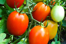 Ripe Garden Tomatoes Ready For Picking.