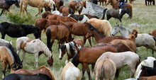 A Group Of Many-colored Ranch Horses Grazing .