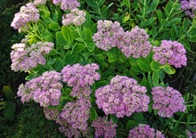 Prächtige Fetthenne, Hylotelephium Spectabile, Butterfly Stone Crop,