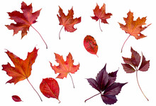 Red Autumn Leaves Isolated On A White Background.