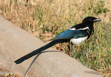 Black Billed Magpie Also Called American Magpie Bird Standing In Autumn Dry Grass Near Street Curb
