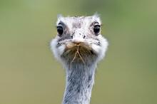 Head Of Ostrich Bird