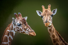 Close-up Portrait Of Two Giraffes