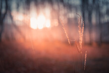 Red Autumn Grass In A Forest At Sunset. Macro Image, Shallow Depth Of Field. Beautiful Autumn Nature Background