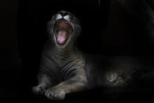 A Voracious Puma Female Opens In A Cry A Huge Toothy Mouth In The Night Darkness, An Open Mouth Of Its Paws,  Belly.