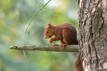 Ardilla Adorable Comiendo En árbol