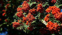 Rowan Tree Full Of Berries