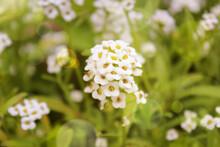 Sweet Alyssum. Summer Gardening Composition With White Flowers Of Alyssum. Perennial Garden Flowers