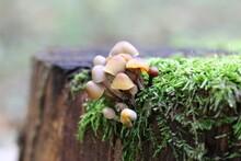False Honeydew On A Tree Stump