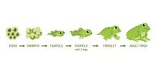 Frog Life Cycle. Egg Masses, Tadpole, Froglet, Frog Metamorphosis. Wild Water Animals, Evolution Development Toads Cartoon Vector Diagram
