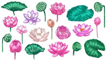 Pink Lotus. Water Lily Flowers Pink Lotus And Green Leaves, Beautiful Bloom Plant Botanical Garden, Tropical Floral Element Color Vector Set