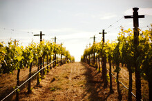 Grape Vineyard In Napa Valley, California
