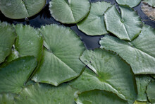 Green Leaves Of A White Water Lily In A Pond.