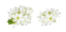 Set Og White Ornithogalum Flowers Isolated
