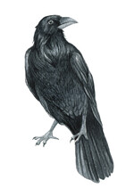 Watercolor Raven Illustration, Crow On The White Background, Black Bird Illustration, Halloween Crow Art