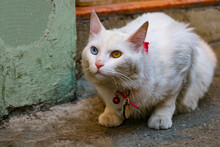 Selective Focus, White Cat With Different Color Eyes. The Blue And Green-eyed Van Cat Is Walking On The Street. Van Cat, A Cute House Cat, Became Famous For Having Different Colors In Both Eyes.