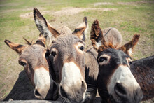 Close-up Portrait Of Three Curious Funny Domestic Cute Hungry Donkeys Stand At Countryside Farm Barnyard Asking For Treat Against Green Grass Field. Many Animals At Country Rural Paddock