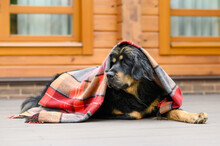 A Large Black Dog Covered With A Woolen Blanket Lies On The Doorstep Of The House With A Look To The Side. Autumn Portrait Of A Dog.