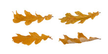 Collection Of Autumn Oak Leaves Isolated On White Background
