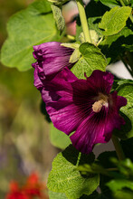 Close Up Of Few Beautiful Purple Hollyhock Flowers Blooming Under The Sun In The Garden