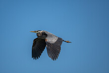 One Great Blue Heron With Wings Wide Open Flew Over Head Under The Clear Blue Sky
