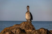 Pelicano En Roca