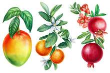 Tropical Fruit On A White Background. Pomegranate, Tangerine And Mango On A Branch. Watercolor Botanical Illustration