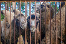 Four Muzzles Of Hairy Camels In The Russian Zoo Behind The Bars Of The Fence