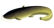Realistic Wels Catfish Isolated Illustration, One Big Freshwater Fish With Long Barbels And Tail, Bottom-dwelling Fish