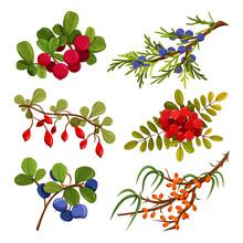 Winter Berries, Berries That Grow In Autumn And Winter, Cranberries, Juniper, Blueberries, Sea Buckthorn, Viburnum, Clusters Of Wild Berries, Bright Realistic Vector Illustrations