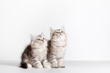 Siberian Cats Two Kittens On White Background