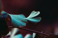 Close-up On Ginkgo Biloba Tree. Blue Leaves On Dark Background. Autumn Concept Background. Macro Ginkgo Leaf. Healing Plant, Alternative Chinese Medicine