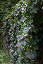 Carpet Of Wild Grape Vines Covering The Wall