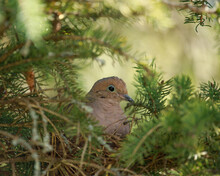 Mourning Dove Nesting In A Pine Tree