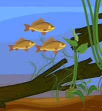 Underwater Pond Landscape With Crucian Carp (Carassius) Freshwater Fishes