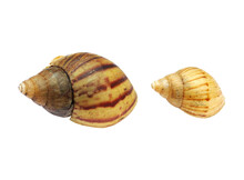 Two Shells Isolated On White Background