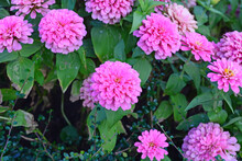 Beautiful Pink Zinnia Flowers To Create A Beautiful And Naturalp, In The Garden