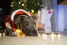 Pit Bull Dog In Front Of The Christmas Tree, With The Balls And Lights On And Some Gifts. Waiting For Santa Claus To Arrive.