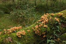 Yellow Mushrooms On A Dead Tree In A German Forest
