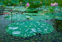 Lotus Leaves With Raindrops. Zen. Exotic.