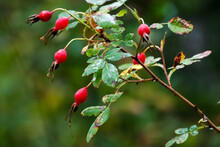 Close Up Of Wild Red Rosehips On A Rose Bush Against A Blurry Background.