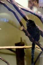 Goeldi's Marmoset, Callimico Goeldii, Sitting On A Branch In The Vienna Zoo.