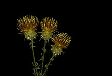 Centaurea Ornata Willd, Arzolla,  Is A Genus Species Of Herbaceous Thistle Like Flowering Plants In The Family Asteraceae