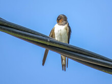 Beautiful Swallow Perched On An Overhead Cable With A Bright Blue Sky As Background